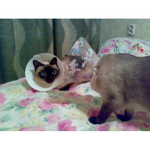 Елизаветинский воротник для кошки своими руками
